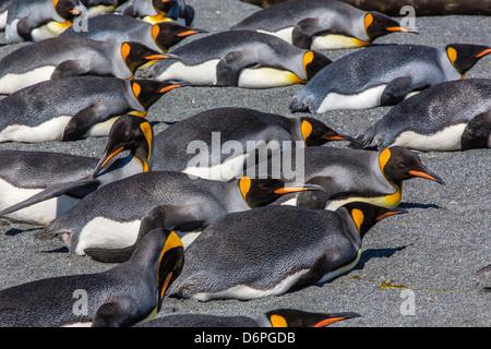 King penguins (Aptenodytes patagonicus), Gold Harbour, South Georgia Island, South Atlantic Ocean, Polar Regions - Stock Photo