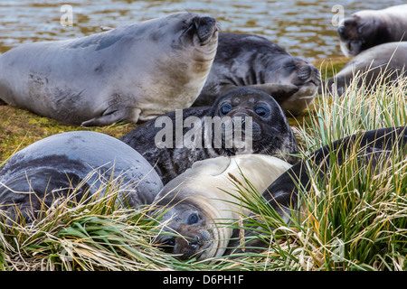 Southern elephant seal (Mirounga leonina) pups, Peggotty Bluff, South Georgia, South Atlantic Ocean, Polar Regions - Stock Photo