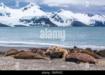 Southern elephant seals (Mirounga leonina), Peggotty Bluff, South Georgia, South Atlantic Ocean, Polar Regions - Stock Photo
