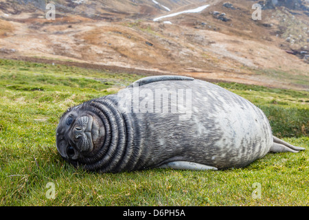 Southern elephant seal (Mirounga leonina) pup, Grytviken Whaling Station, South Georgia, South Atlantic Ocean, Polar - Stock Photo