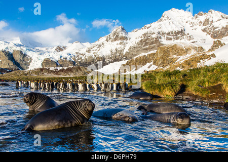 Southern elephant seal (Mirounga leonina) pups, Gold Harbour, South Georgia, South Atlantic Ocean, Polar Regions - Stock Photo