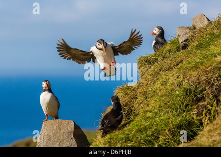 Atlantic puffins (Fratercula arctica), Mykines Island, Faroes, Denmark, Europe - Stock Photo