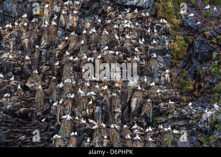 Northern gannets (Morus bassanus) on breeding colony site at Runde Island, Norway, Scandinavia, Europe - Stock Photo