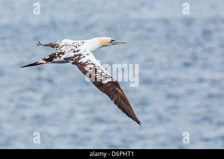 Juvenile northern gannet (Morus bassanus) on the wing at Runde Island, Norway, Scandinavia, Europe - Stock Photo
