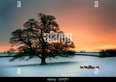 Winter oak in the snow. - Stock Photo