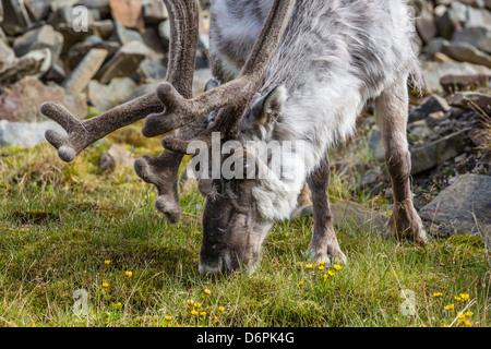 Svalbard reindeer (Rangifer tarandus platyrhynchus) buck in velvet, Spitsbergen, Svalbard Archipelago, Norway, Scandinavia - Stock Photo