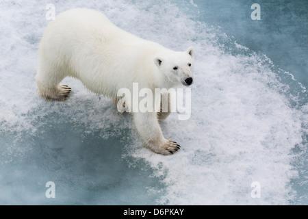 A curious young polar bear (Ursus maritimus) on the ice in Bear Sound, Spitsbergen Island, Svalbard, Norway, Scandinavia, - Stock Photo