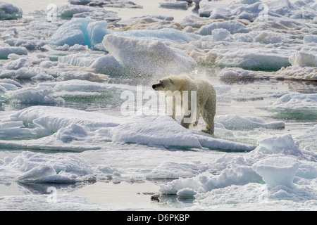 Adult polar bear (Ursus maritimus) drying out on the ice in Bear Sound, Spitsbergen Island, Svalbard, Norway, Scandinavia - Stock Photo