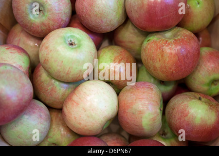 Freshly picked apples are stored in a bushel basket. - Stock Photo