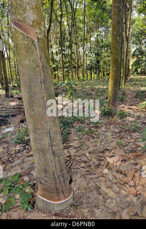 Latex being harvested from rubber tree in forest - Stock Photo