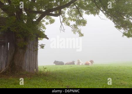 Cattle in fog, near Fussen, Bavaria, Germany, Europe - Stock Photo