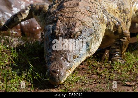 Close-up of Nile crocodile (Crocodylus niloticus), Tsavo East National Park, Kenya - Stock Photo