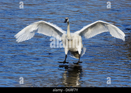A Trumpeter Swan gliding in for a landing on the Mississippi River, Minnesota, USA. - Stock Photo