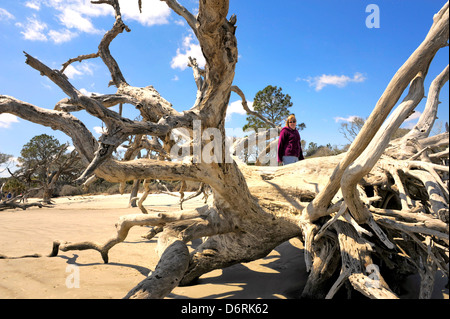 A woman standing on a large piece of driftwood Driftwood Beach Jekyll Island Georgia one of the Georgia's most secluded - Stock Photo