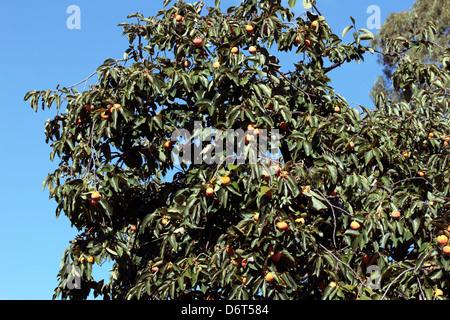 Japanese Date Plum/Kaki Tree-Diospyros kaki-Family Ebenaceae - Stock Photo
