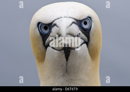 Northern Gannet (Morus bassanus) adult, close-up of head, Bass Rock, Firth of Forth, East Lothian, Scotland, August - Stock Photo
