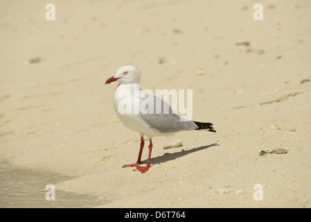 Silver Gull (Larus novaehollandiae) adult, standing on sandy beach, Queensland, Australia, November - Stock Photo