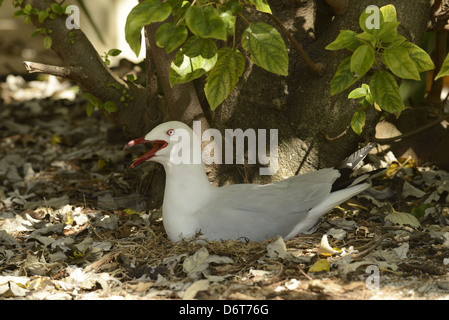 Silver Gull (Larus novaehollandiae) adult, panting, sitting on nest, Queensland, Australia, November - Stock Photo
