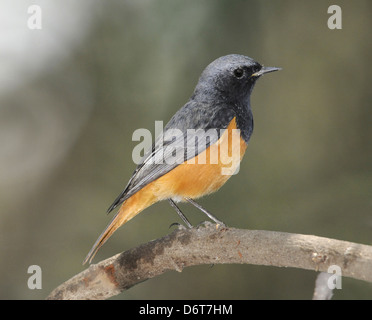 Eastern Black Redstart - Phoenicurus ochruros phoenicuroides - Stock Photo