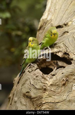 Budgerigar (Melopsittacus undulatus) adult pair, at entrance to nesthole in dead tree, Victoria, Australia, November - Stock Photo