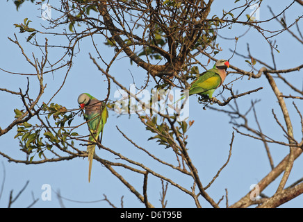 Red-breasted Parakeet Psittacula alexandri fasciata two adult males climbing amongst twigs in tree Dakdam Highland - Stock Photo