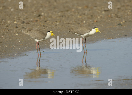 Masked Lapwing (Vanellus miles) two adults, standing in shallow water, Queensland, Australia, November - Stock Photo