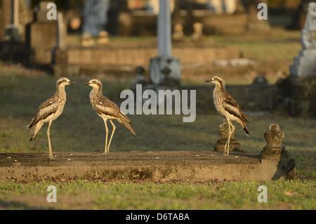 Bush Thick-knee (Burhinus grallarius) three adults, standing in graveyard, Cairns, Queensland, Australia, November - Stock Photo
