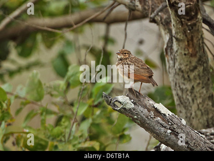 Indochinese Bushlark (Mirafra erythrocephala) adult, perched on branch, Prey Veng, Cambodia, January - Stock Photo