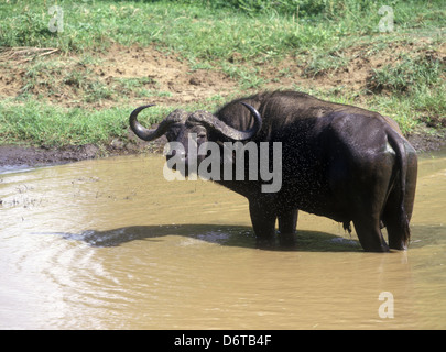 African Buffalo (Syncerus caffer) Bull at water hole/ surrounded by flies - Stock Photo