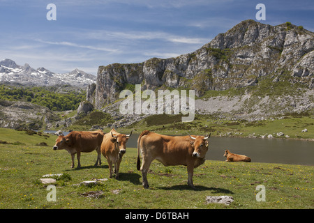 Domestic Cattle Casinas cows in high cattle pasture beside lake Covadonga N.P. Picos de Europa Cantabrian Mountains - Stock Photo