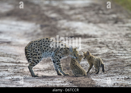 Serval (Leptailurus serval) adult, picking cub up in mouth, Serengeti N.P., Tanzania, December - Stock Photo