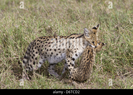 Serval (Leptailurus serval) adult, carrying cub in mouth, Serengeti N.P., Tanzania, December - Stock Photo