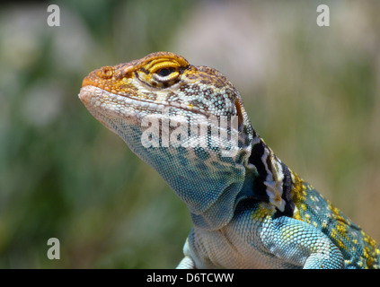 Common Collared Lizard Crotaphytus collaris auriceps 'Yellow-headed' race adult male close-up head Canyonlands N.P. - Stock Photo