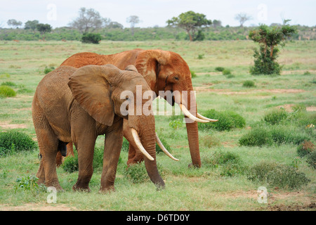 Elephants in Tsavo East National Park, Kenya, East Africa - Stock Photo