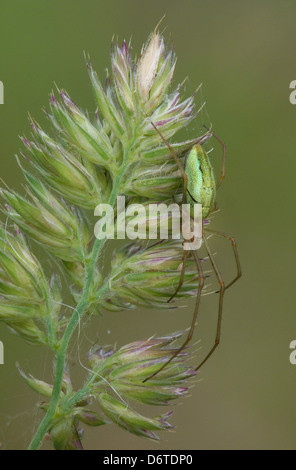 Common Stretch Spider Tetragnatha extensa adult female resting on grass flowerhead beside span web Leicestershire - Stock Photo