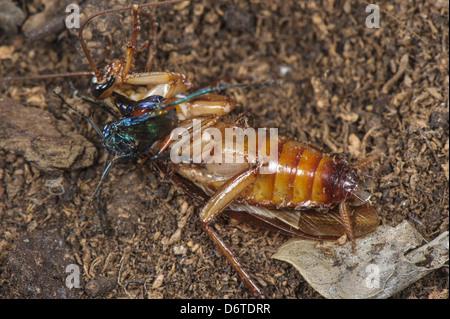 Emerald Cockroach Wasp Ampulex compressa adult female stinging American Cockroach Periplaneta americana obliterate - Stock Photo