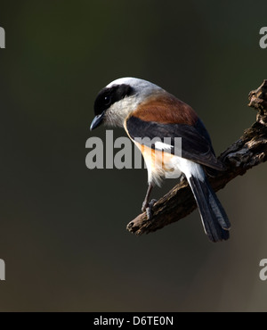 Bay-backed Shrike (Lanius vittatus) - Stock Photo
