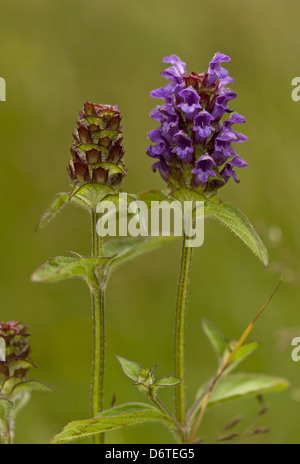 Common Selfheal (Prunella vulgaris) flowering, Dorset, England, July - Stock Photo
