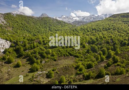 Common Beech (Fagus sylvatica) high altitude woodland habitat, near Tresviso, Picos de Europa, Cantabrian Mountains, - Stock Photo