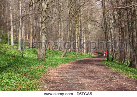 Wild garlic growing in woodland at Middleton-in-Teesdale, Co Durham, England UK - Stock Photo