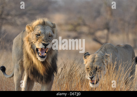 Lion and Lioness, Panthera leo, roaring, in dry grass, early morning, Kruger National Park, South Africa, Africa - Stock Photo
