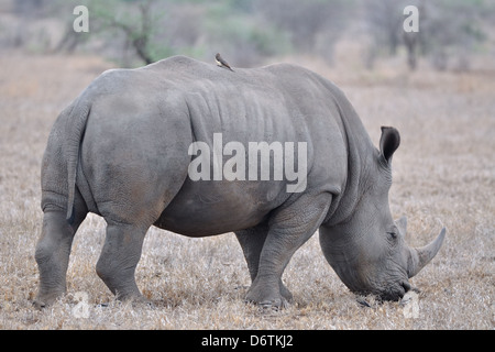 White rhinoceros (Ceratotherium simum), eating, Kruger National Park, South Africa, Africa - Stock Photo