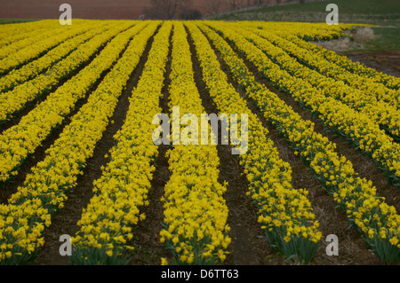 Field of daffodils in bloom - Stock Photo