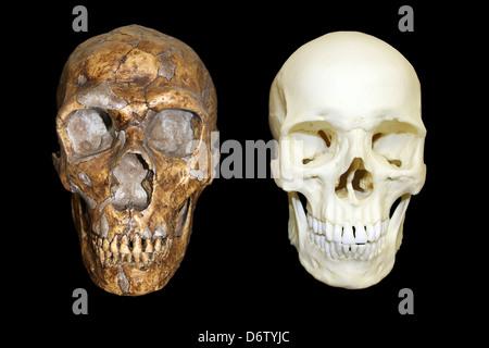 Reconstruction Of A Neanderthal Man Stock Photo, Royalty ... Homo Sapiens Neanderthalensis Skull