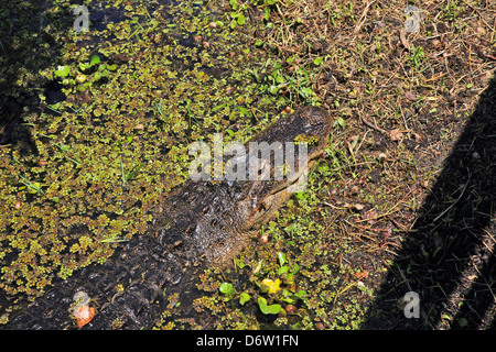 Alligator hidden in the swamp of the America;USA;Florida;Everglades National Park; - Stock Photo