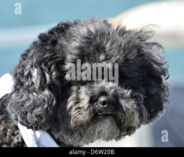A cute black miniature Poodle. - Stock Photo