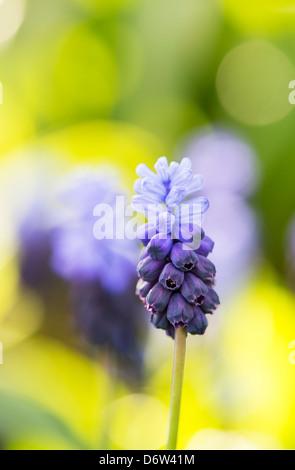 Muscari latifolium. Broad Leaved Grape Hyacinth flowers - Stock Photo