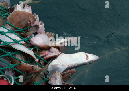 Dragger hauls in net full of Spiny Dogfish Shark (Squalus acanthias) and Yellowtail Flounder (Limanda ferruginea) - Stock Photo