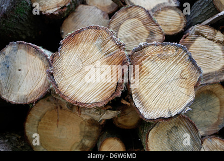 Coppenbruegge, Germany, precipitated tree trunks in the forest - Stock Photo