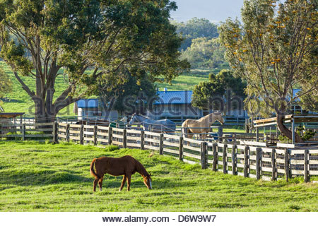 Horses on Upcountry ranch near Makawao on slopes of Haleakala on the island of Maui in the State of Hawaii USA - Stock Photo